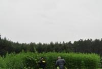 Zlikwidowali plantację konopii indyjskich liczącą 3 800 krzewów!