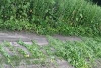 Policjanci zabezpieczyli ponad 80 roślin konopi, które rosły na skwerze