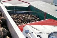 W trakcie kontroli przerzucił ręcznie prawie 2 tony buraków aby móc kontynuować jazdę do cukrowni