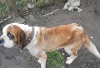 Bernardyn sołtysa był wychudzony i zaniedbany! Interweniowało Towarzystwo Opieki nad Zwierzętami