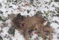 Psy zagryzają sarny! Miasto i gmina zrzucają odpowiedzialność