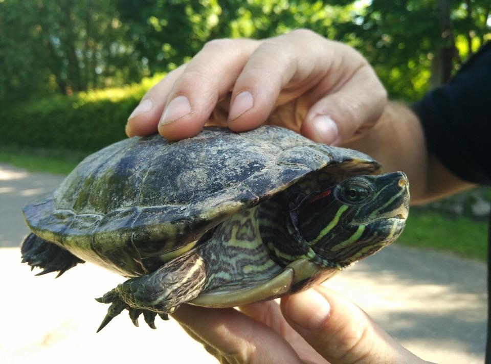 Nietuzinkowy uciekinier na Winiarach! Żółw czeka na właściciela