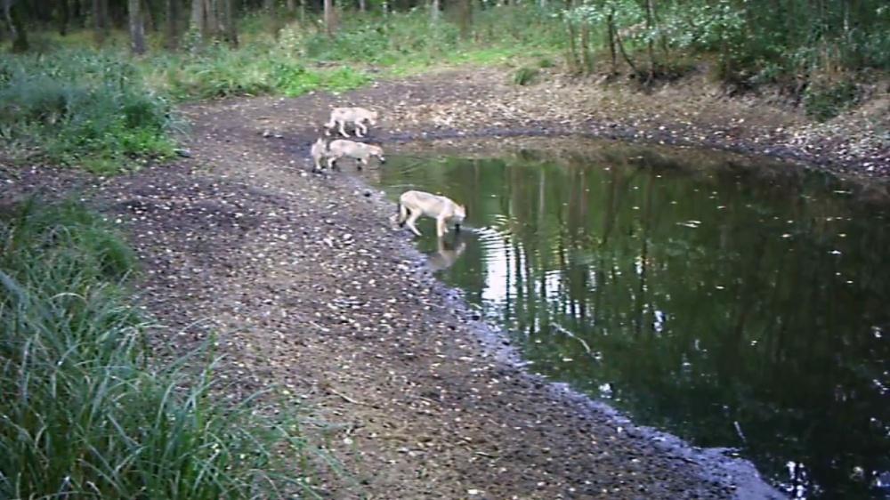 Czerniejewskie wilki