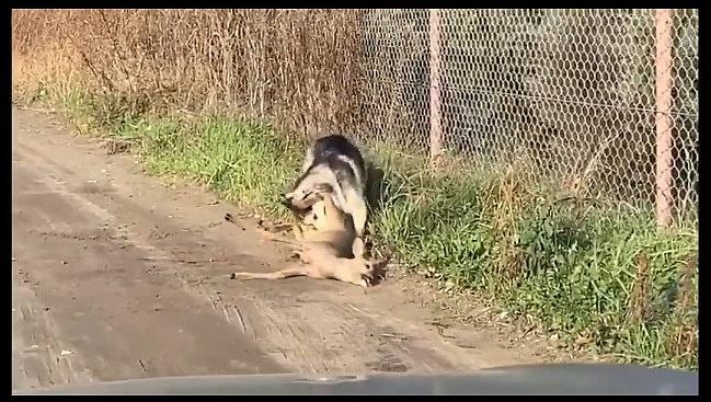 W okolicy ul. Orzeszkowej pies zagryzł jelonka!