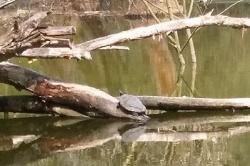 Żółw z gnieźnieńskiego stawu przetrwał zimę! Gad został sfotografowany po roku