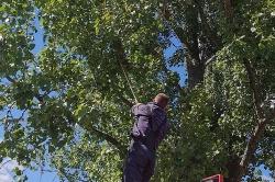 Tchórz utknął na drzewie! Pomogli mu strażacy