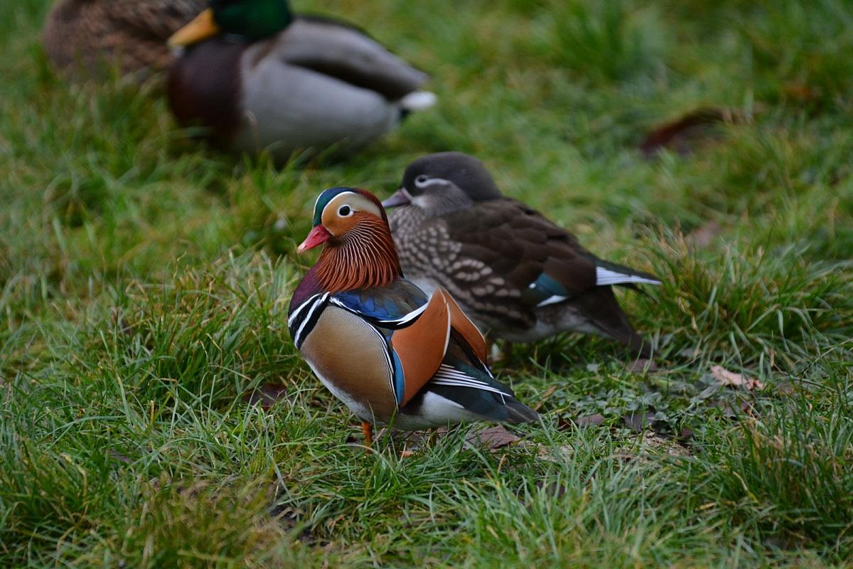 Kaczki mandarynki w gnieźnieńskim parku! Jest ich więcej niż myśleliśmy!