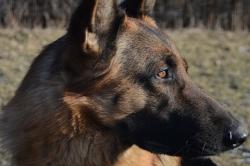 Trzy duże psy zaatakowały mniejszego oraz 56-letnią kobietę