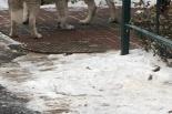 Dwa psy rasy husky zagryzły west terriera