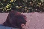 Policjanci eskortowali bobra