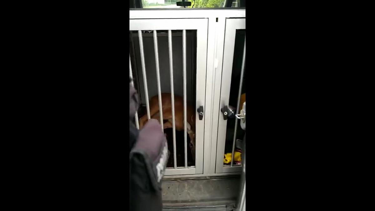 Policjanci, strażnicy miejscy i strażacy uratowali koziołka! Zwierzę znajdowało się na posesji w centrum Gniezna