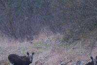 Łosie sfotografowane na terenie Nadleśnictwa Gniezno