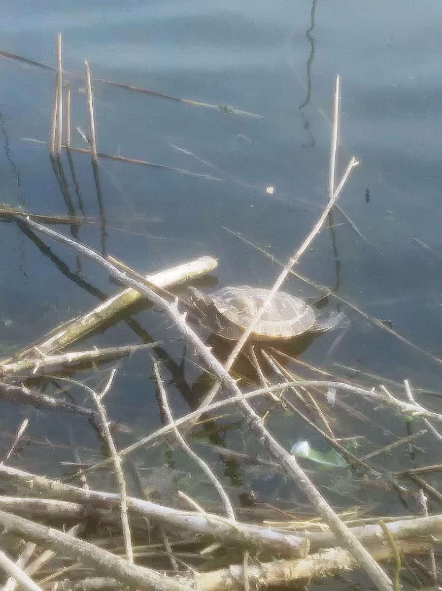 Żółw w gnieźnieńskim stawie!