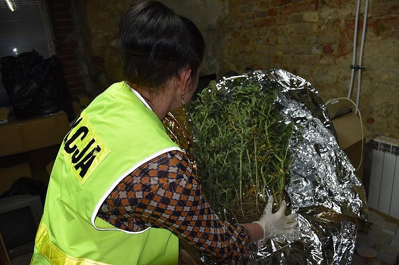 Zabezpieczono 26 krzewów konopi