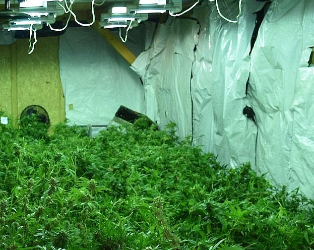 W Skrzetuszewie zlikwidowano nielegalną plantację konopii! Zabezpieczono 8,5 kg marihuany