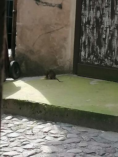 Beztrosko biegające szczury przy ul. Łubieńskiego w Gnieźnie! Mieszkańcy bezskutecznie prosili Spółkę URBIS o pomoc!