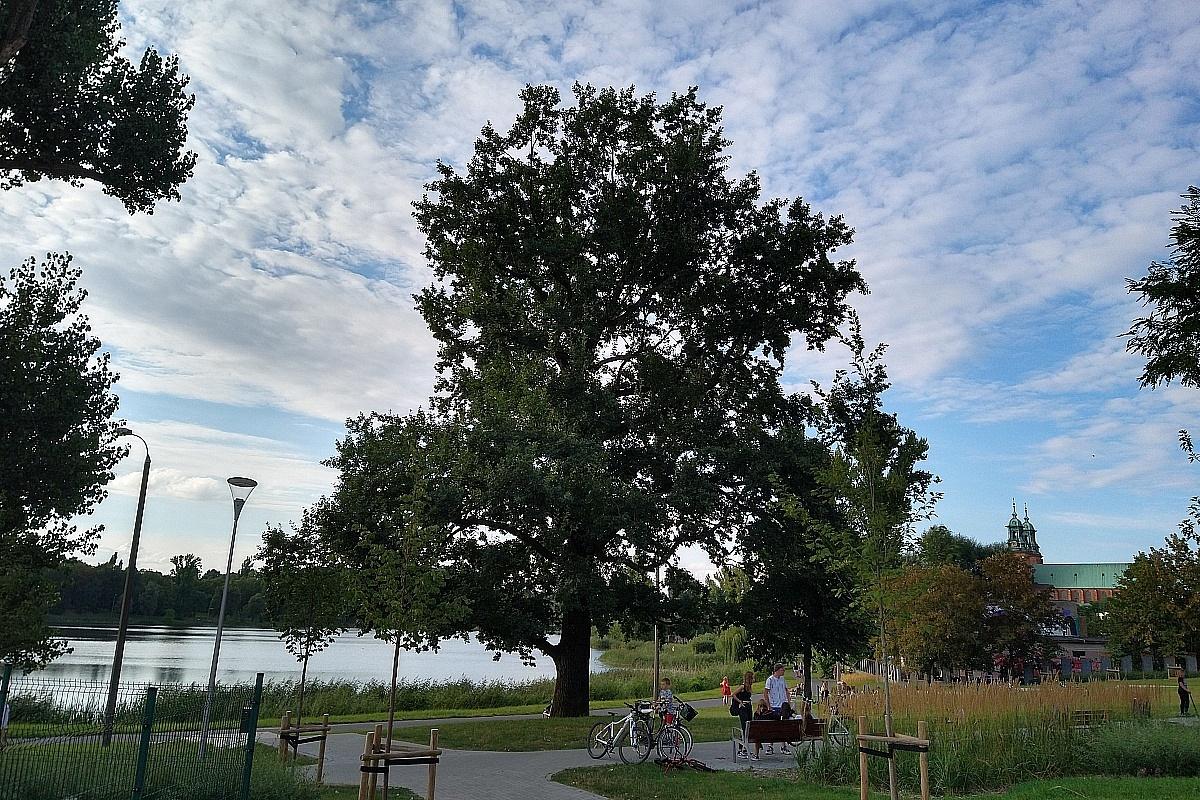Kolejny pomnik przyrody w Gnieźnie